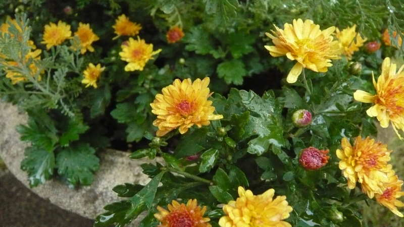 chrysanthemum04.JPG